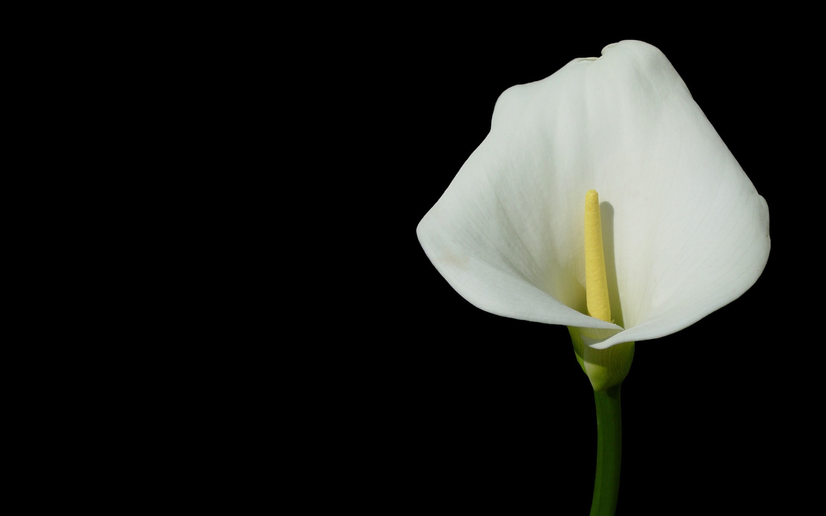 White Flower on Black Background   Wallpaper 265 1680x1050