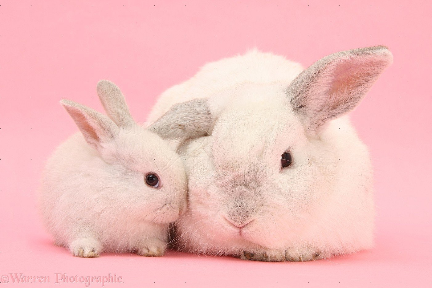 Free Download White Lop Rabbits On Pink Background Photo Wp27540 1402x935 For Your Desktop Mobile Tablet Explore 46 Pink Bunny Wallpaper Baby Bunny Wallpaper Cute Bunnies Wallpaper Hd Bunny Wallpaper
