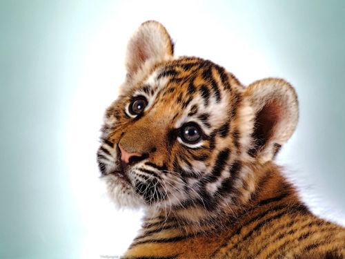 1280x1024 Tiger Cub wallpaper 500x375