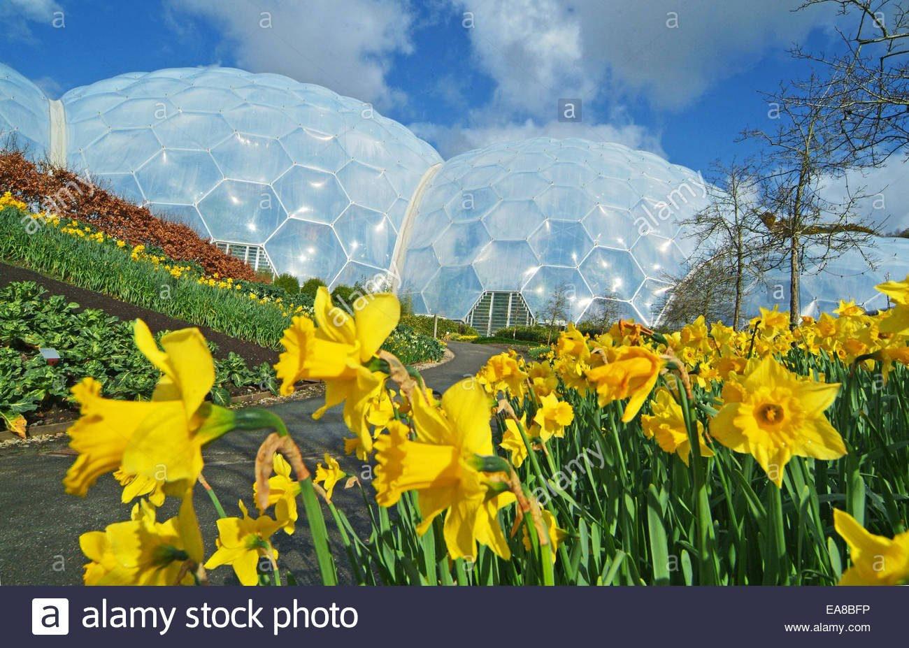 Daffodils in flower at the Eden Project with biomes in background 1300x927
