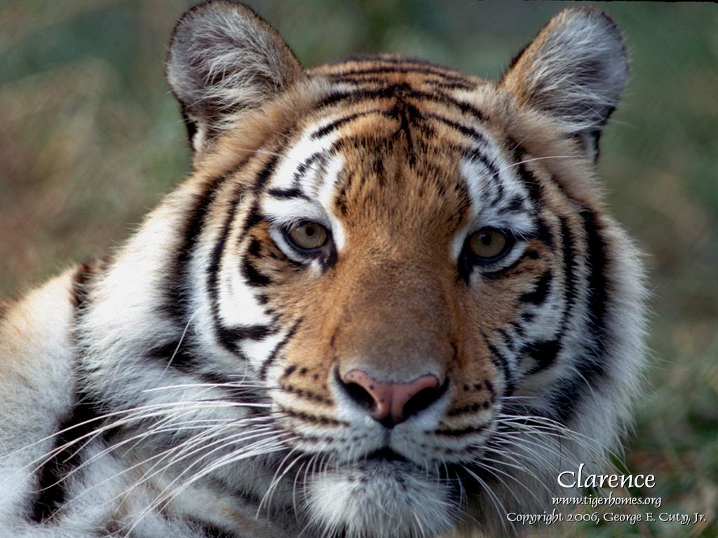 Tiger Desktop Wallpaper   White Tiger   Bengal and Siberian Tigers 1024x768