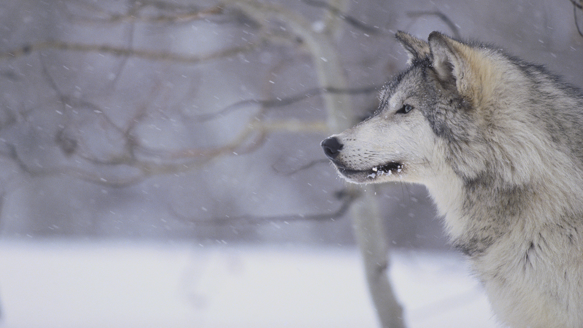 Image   Gray wolf in snow tweet hd wallpapers animals photo gray wolf 1920x1080