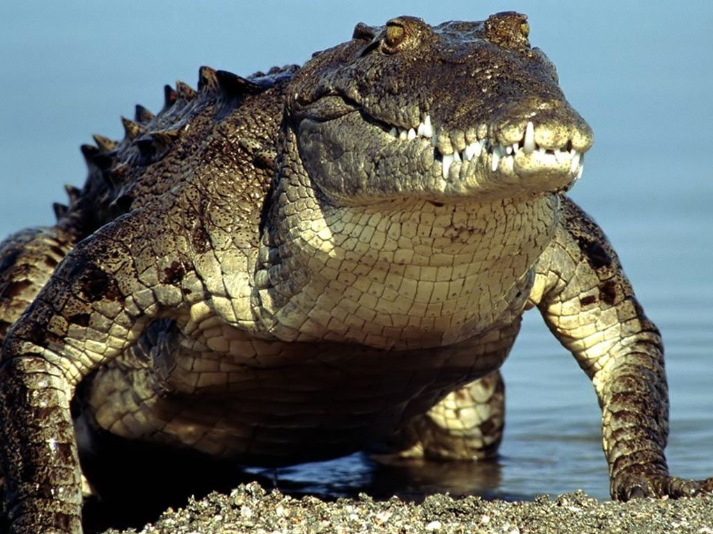 Crocodile Alligator Hd Images 3 HD Wallpapers Anatomy 1024x768