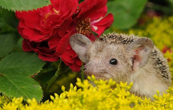 Wallpaper hedgehog muzzle flowers wallpapers animals   download 596x380