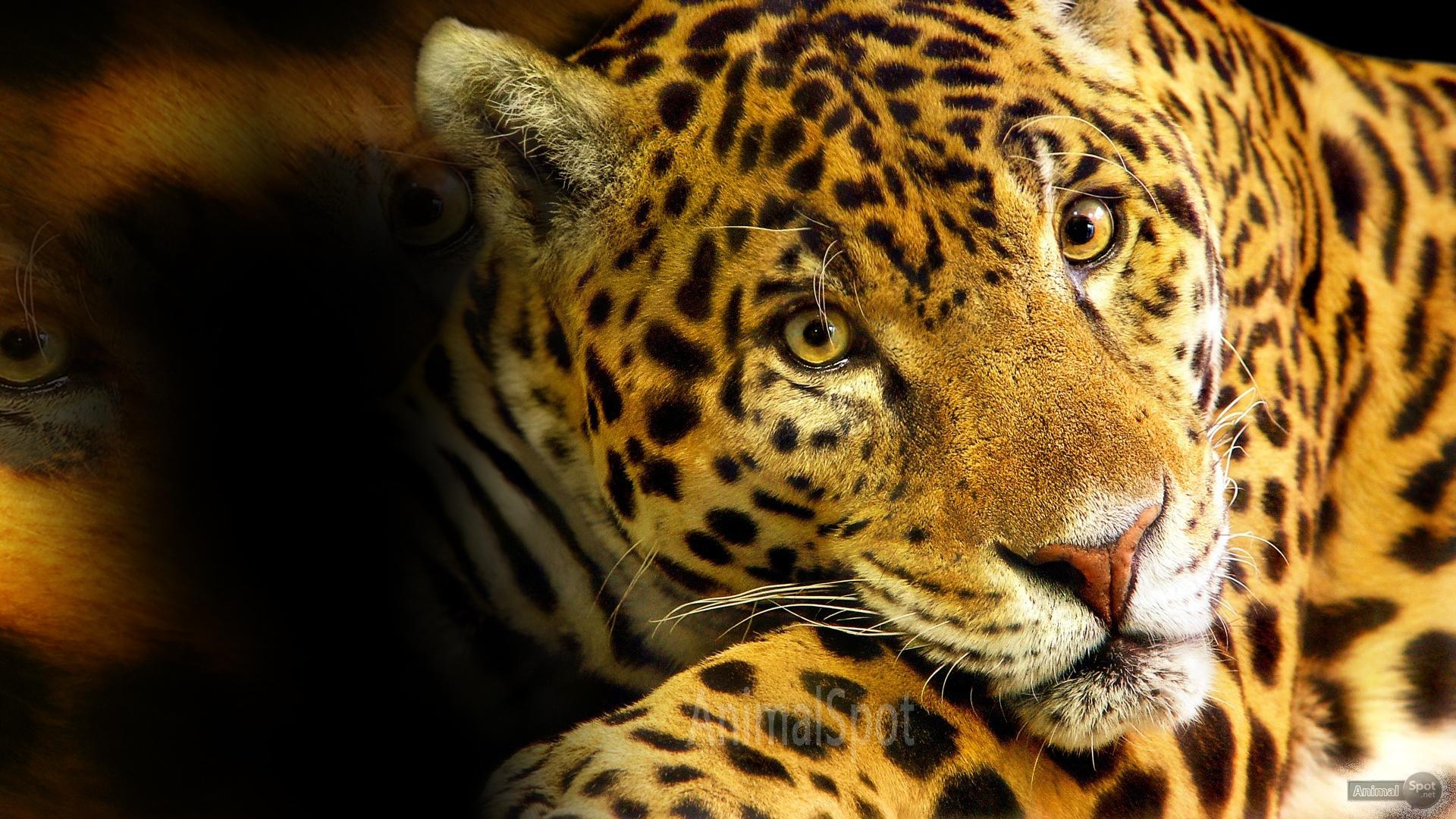 Cheetah Desktop Wallpaper - WallpaperSafari