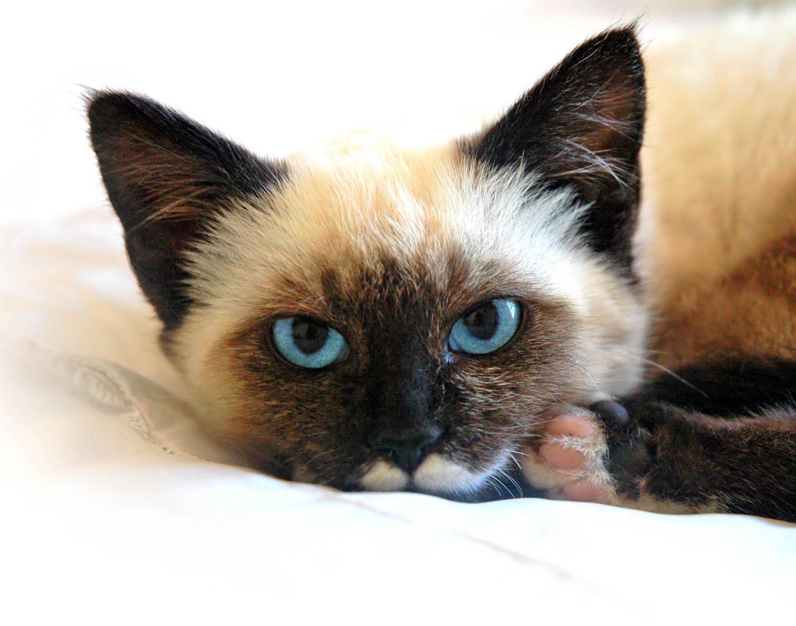 Сеамский кот  № 171585  скачать