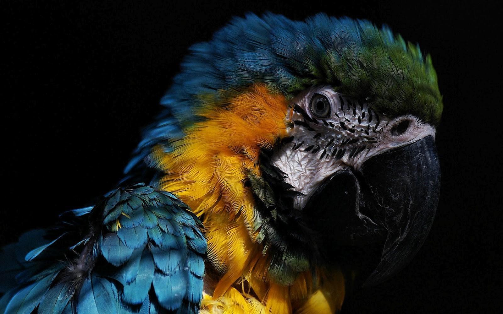 HD Parrot Face Wallpaper HD Wallpapers 1600x1000