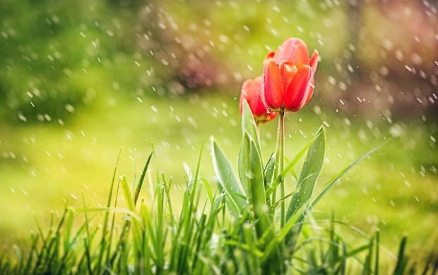 Spring Tulips Grass Rain click to view 620x390