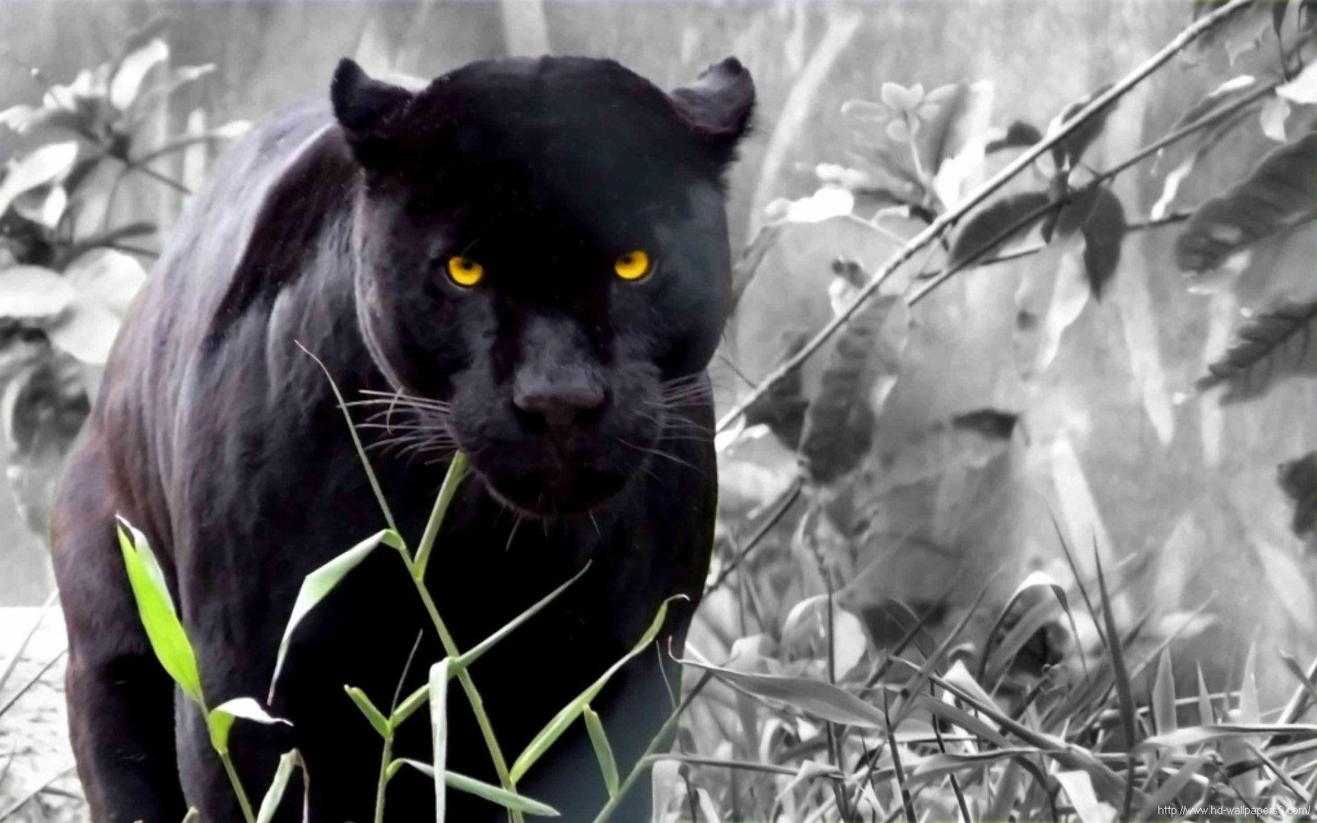 Black Panther Black Panther Wallpapers 1920x1200