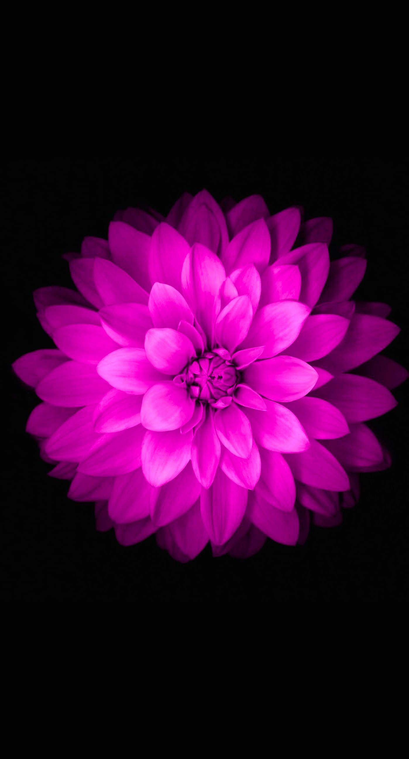Purple flower wallpaper for iphone wallpapersafari - Iphone 6 flower wallpaper ...