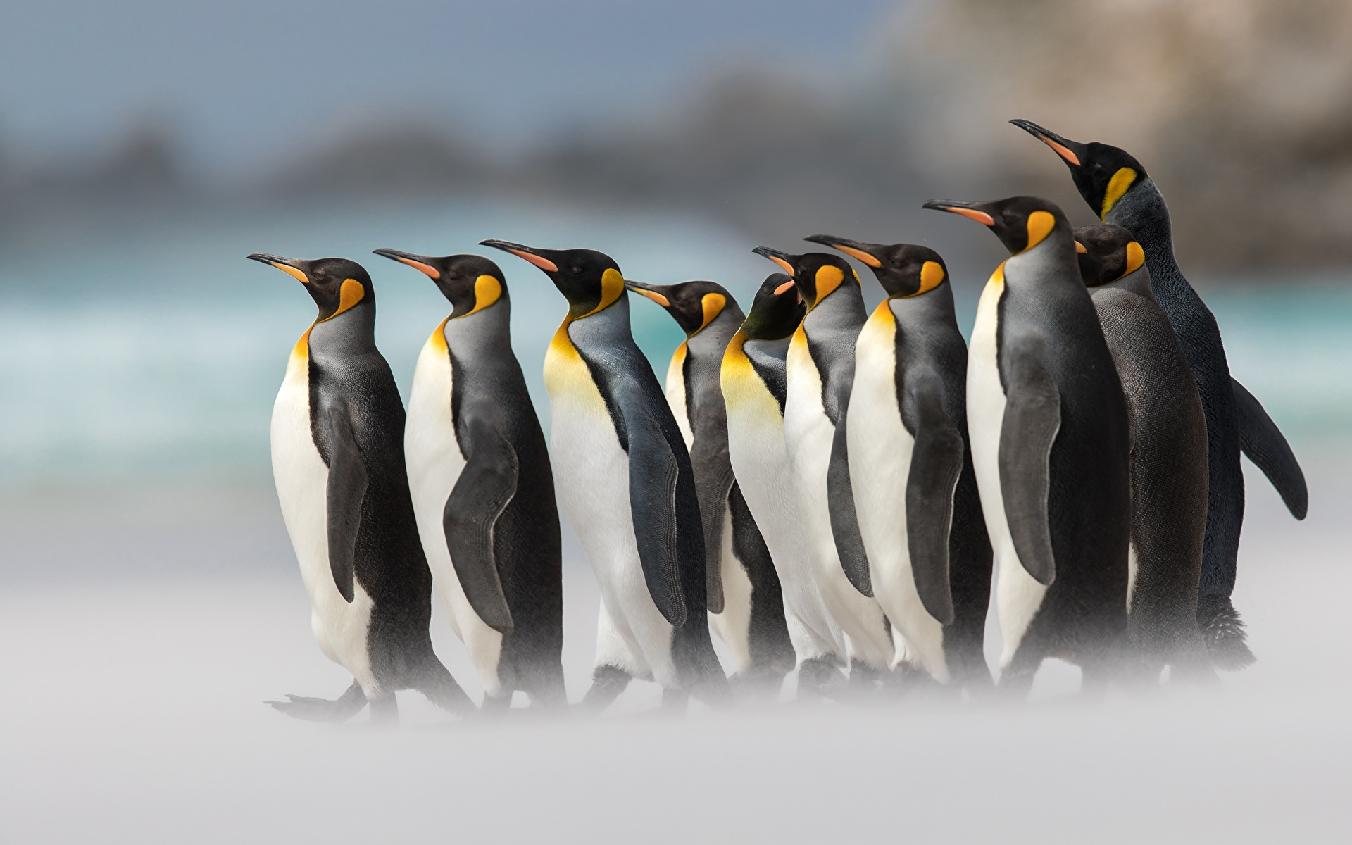 King Penguins wallpaper Gallery 1920x1200