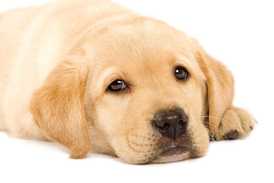 Golden Labrador puppy wallpaper   ForWallpapercom 909x606