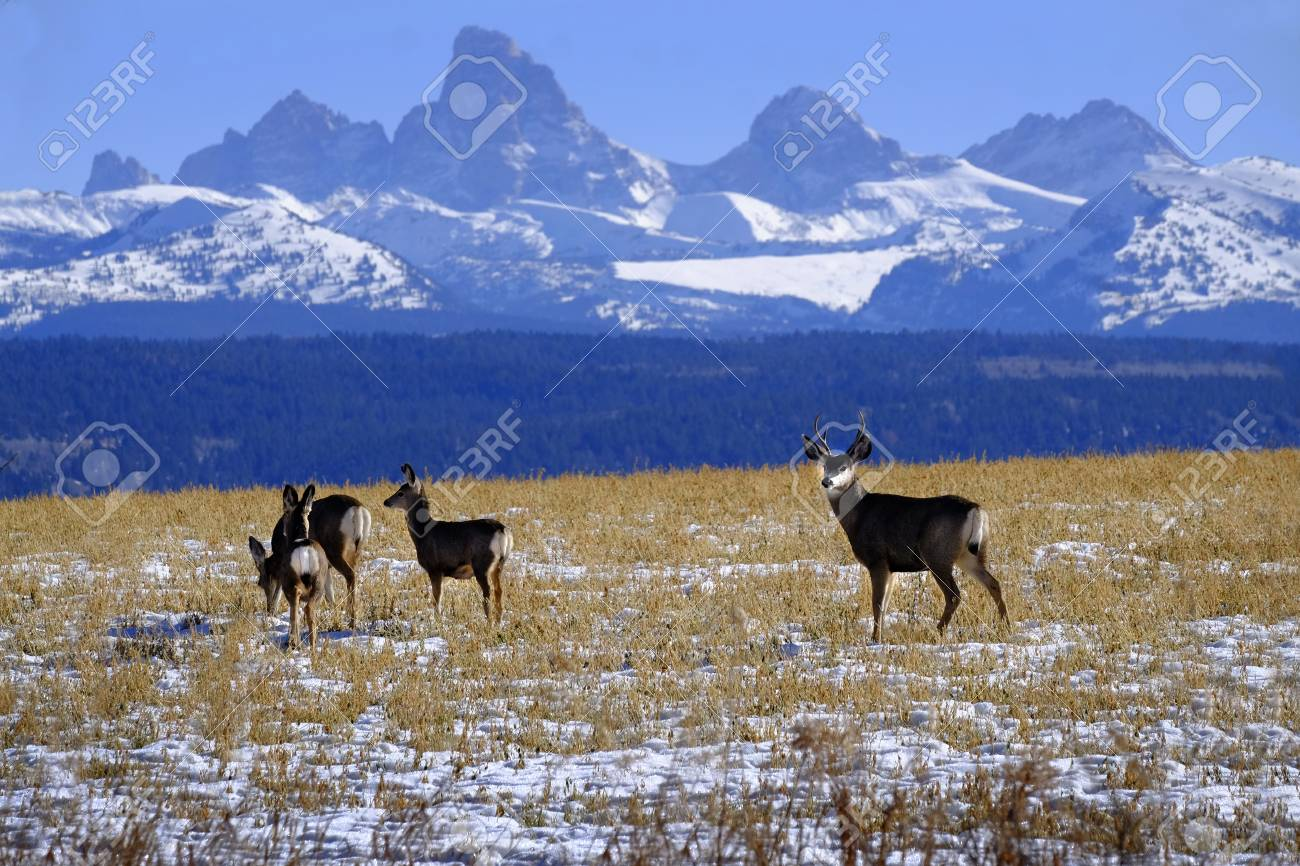 Mule Deer In Field With Tetons Teton Mountains Rugged In 1300x866