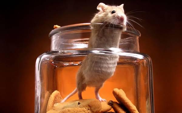 Wallpaper Hamster bank cookies funny orange glass 1920x1200 600x375