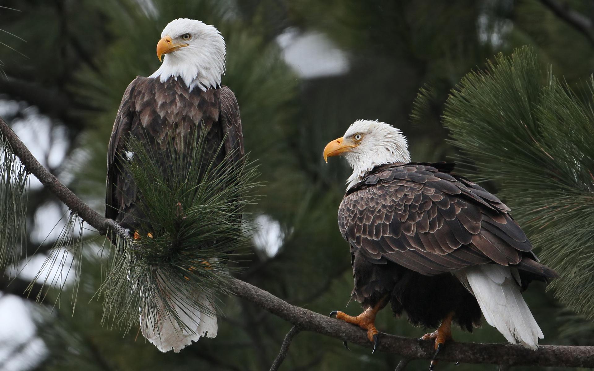 Patriotic Bald Eagle Wallpaper - WallpaperSafari