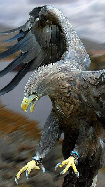 Free eagle wallpaper and screensavers wallpapersafari - Birds of prey wallpaper hd ...