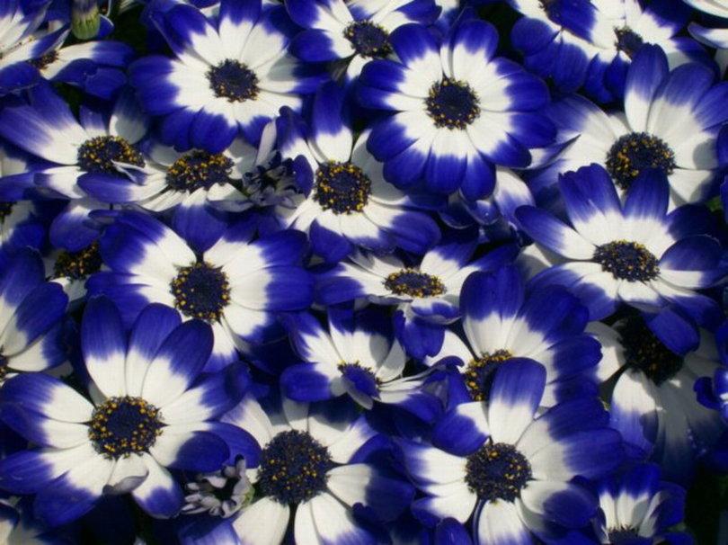 BLUE AND WHITE FLOWERS wallpaper   ForWallpapercom 810x606