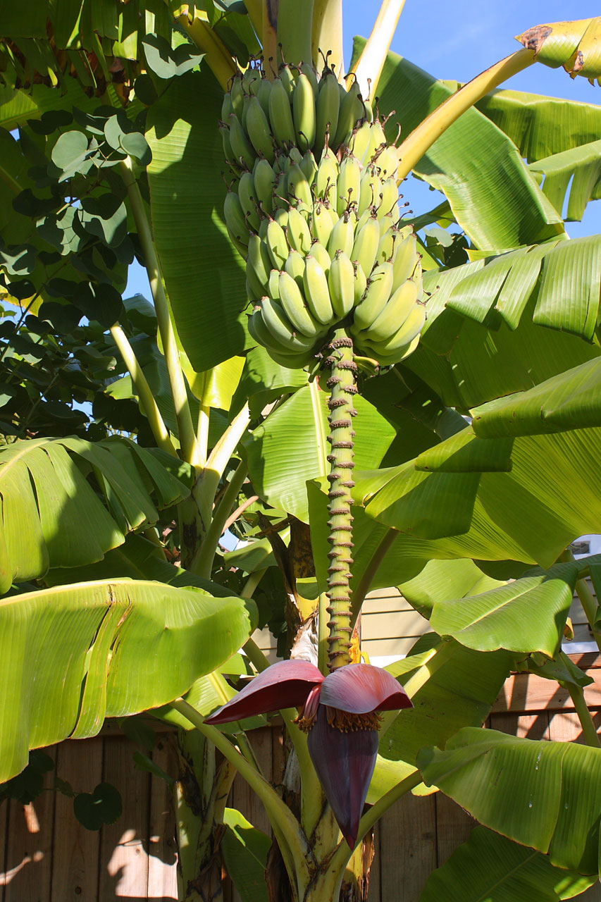 Banana Tree With Fruit And Blossom Stock Photo HD   Public Domain 853x1280
