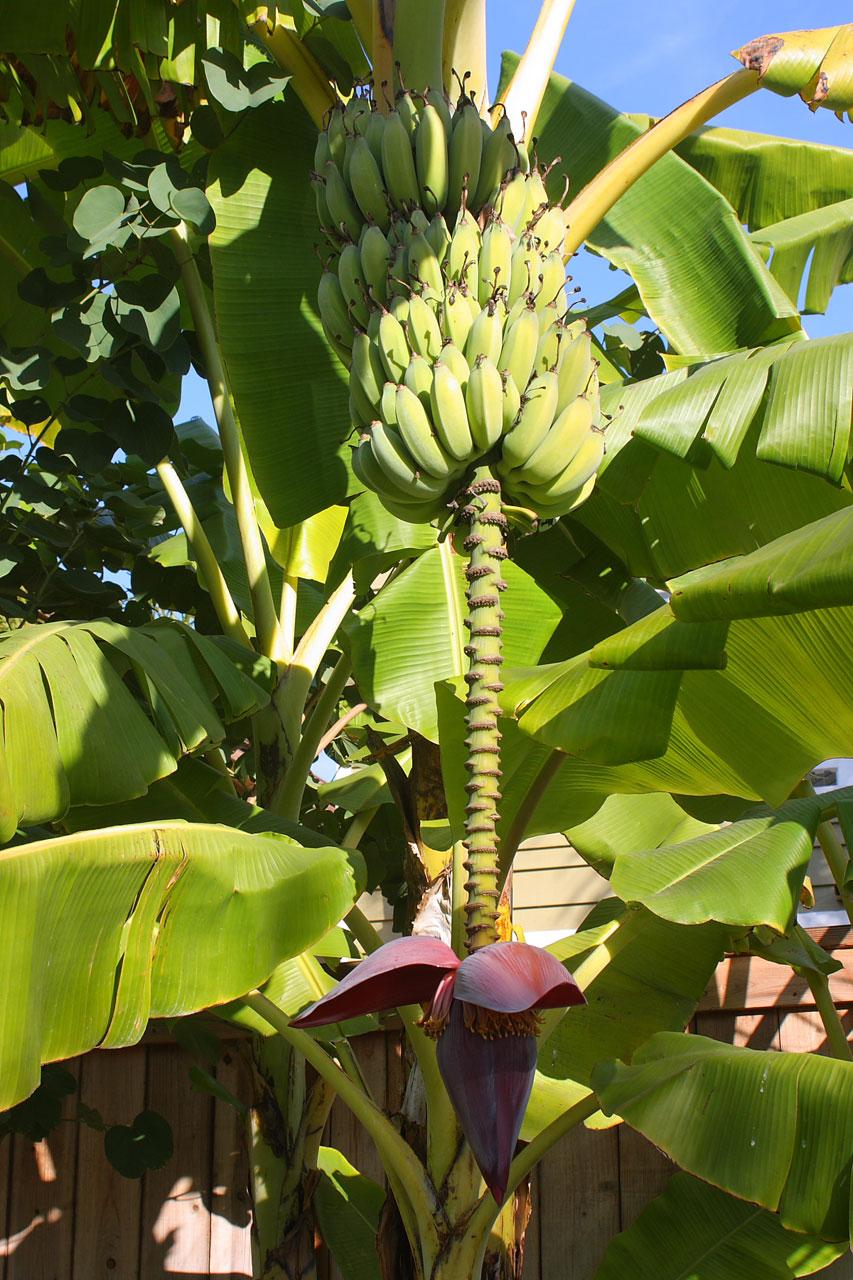 Banana Tree With Fruit And Blossom Stock Photo HD   Public Domain 853x1280