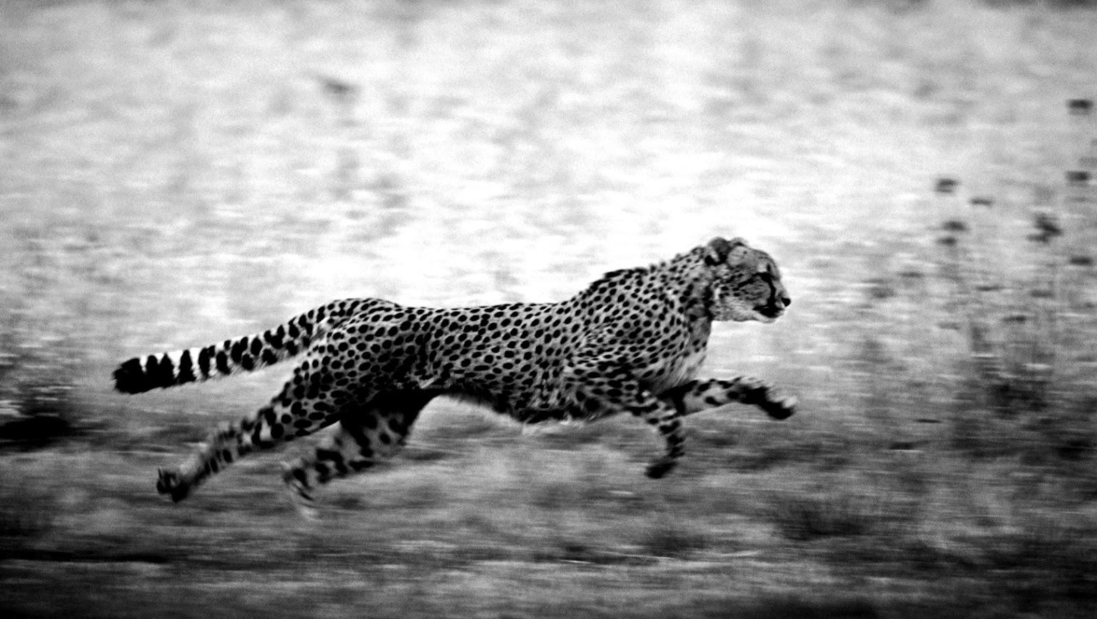 Photography cheetah black and white catalog photo