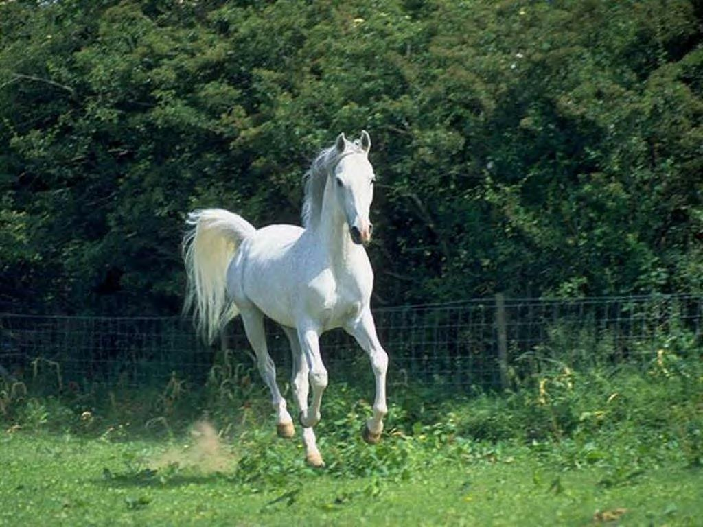 Free Download White Horse Background Running White Horse