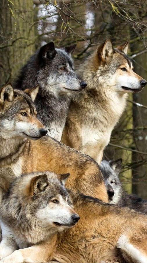 Wolves Live Wallpaper   Android Apps on Google Play 506x900