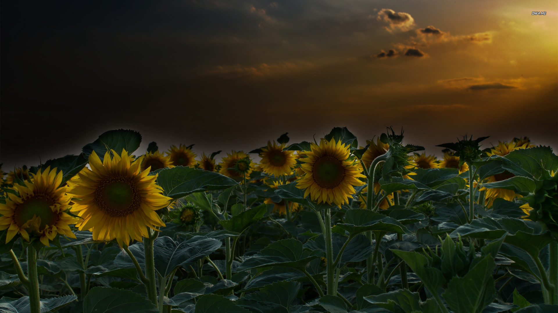 Sunflower field wallpaper   Flower wallpapers   662 1920x1080