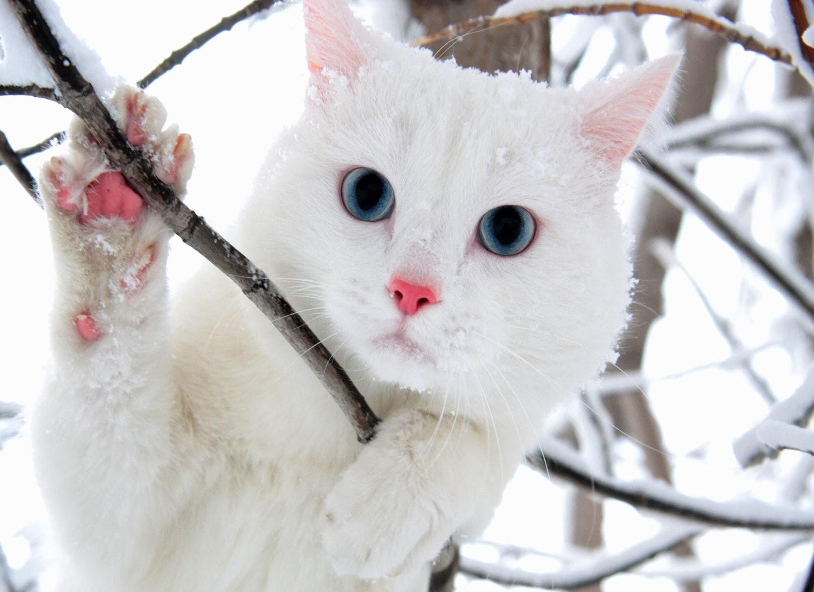 White Cat Wallpaper   beautiful desktop wallpapers 2014 1600x1164