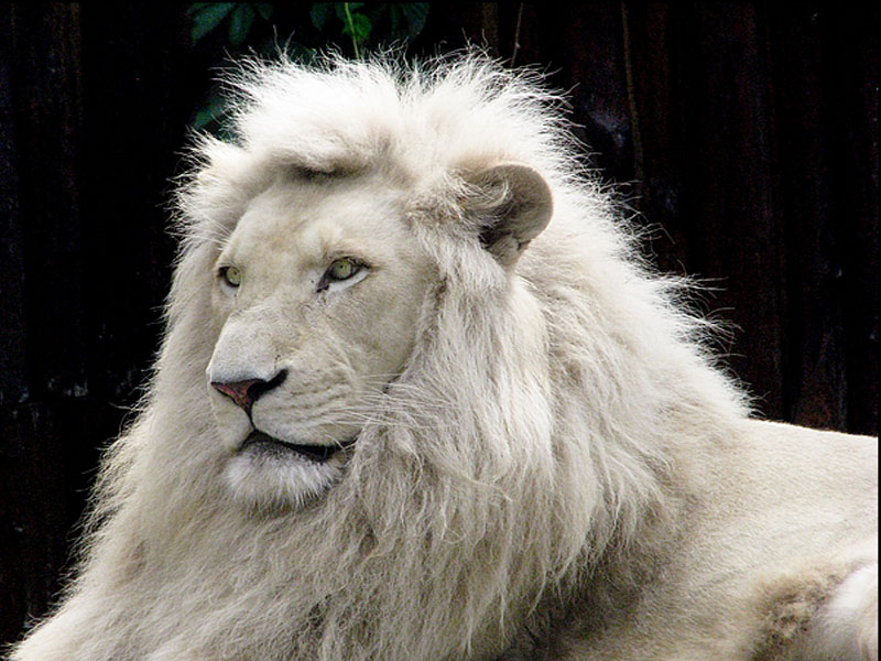 White Lion Wallpaper 2012 800x600