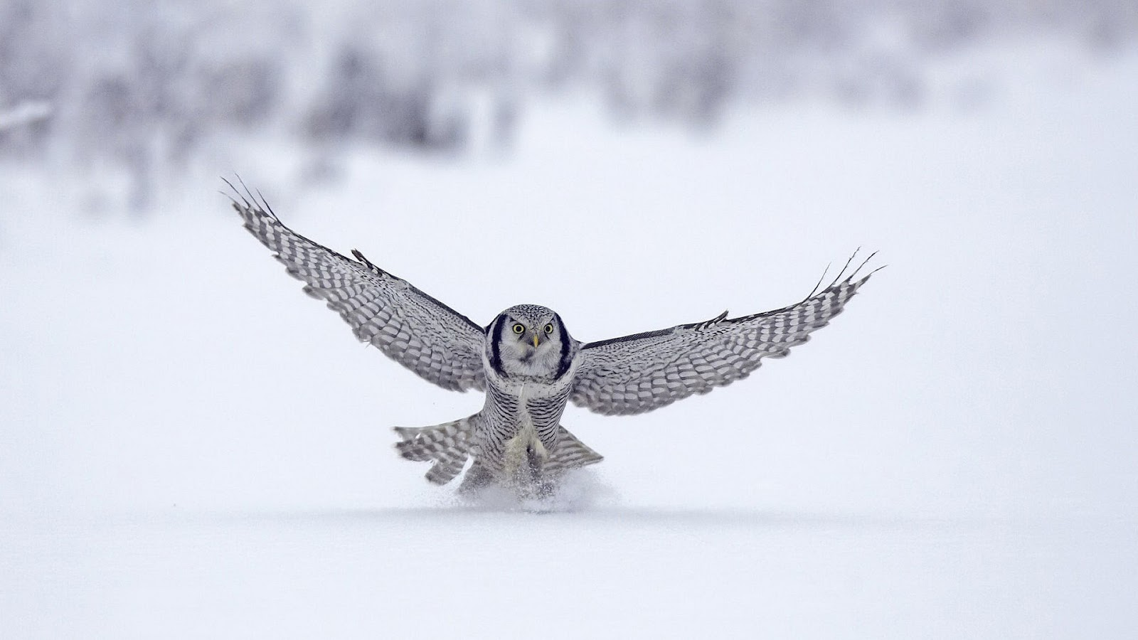 HD animal wallpaper of a beautiful white owl landing in the snow HD 1600x900