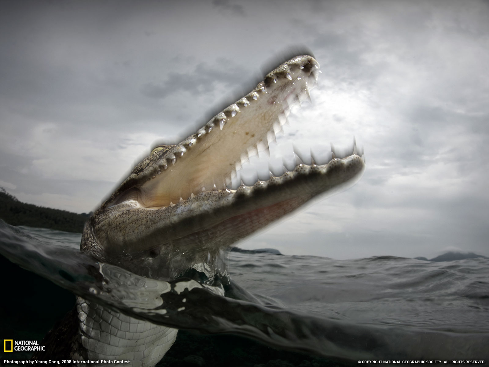 Saltwater Crocodile Photo Animals Picture National Geographic 1600x1200