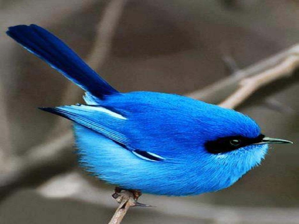 Download Beautiful Blue Birds Beautiful blue bird 1024x768