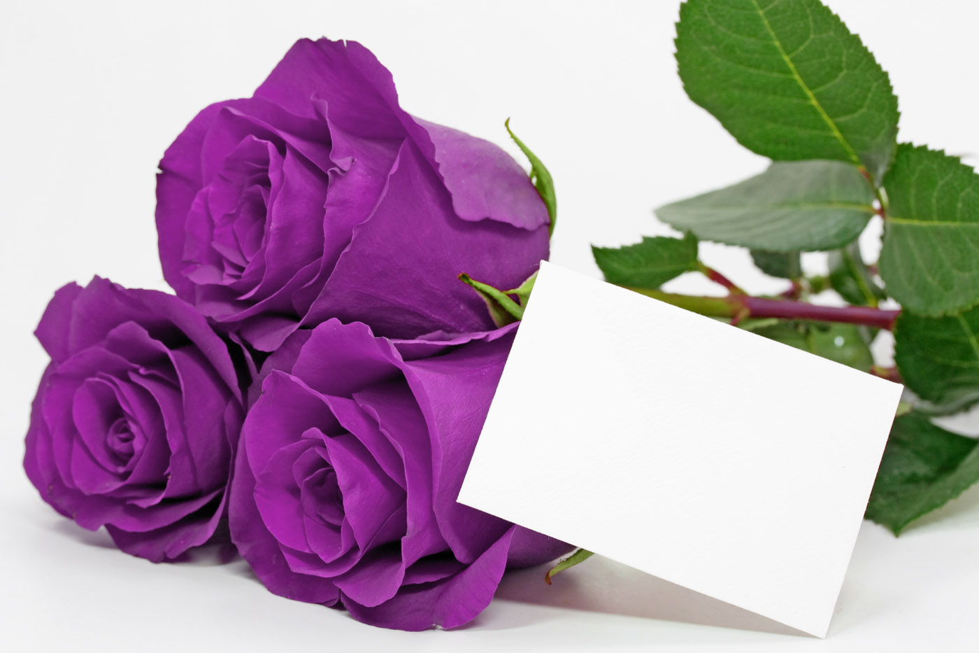 Most Beautiful Purple Roses Amazing Wallpapers