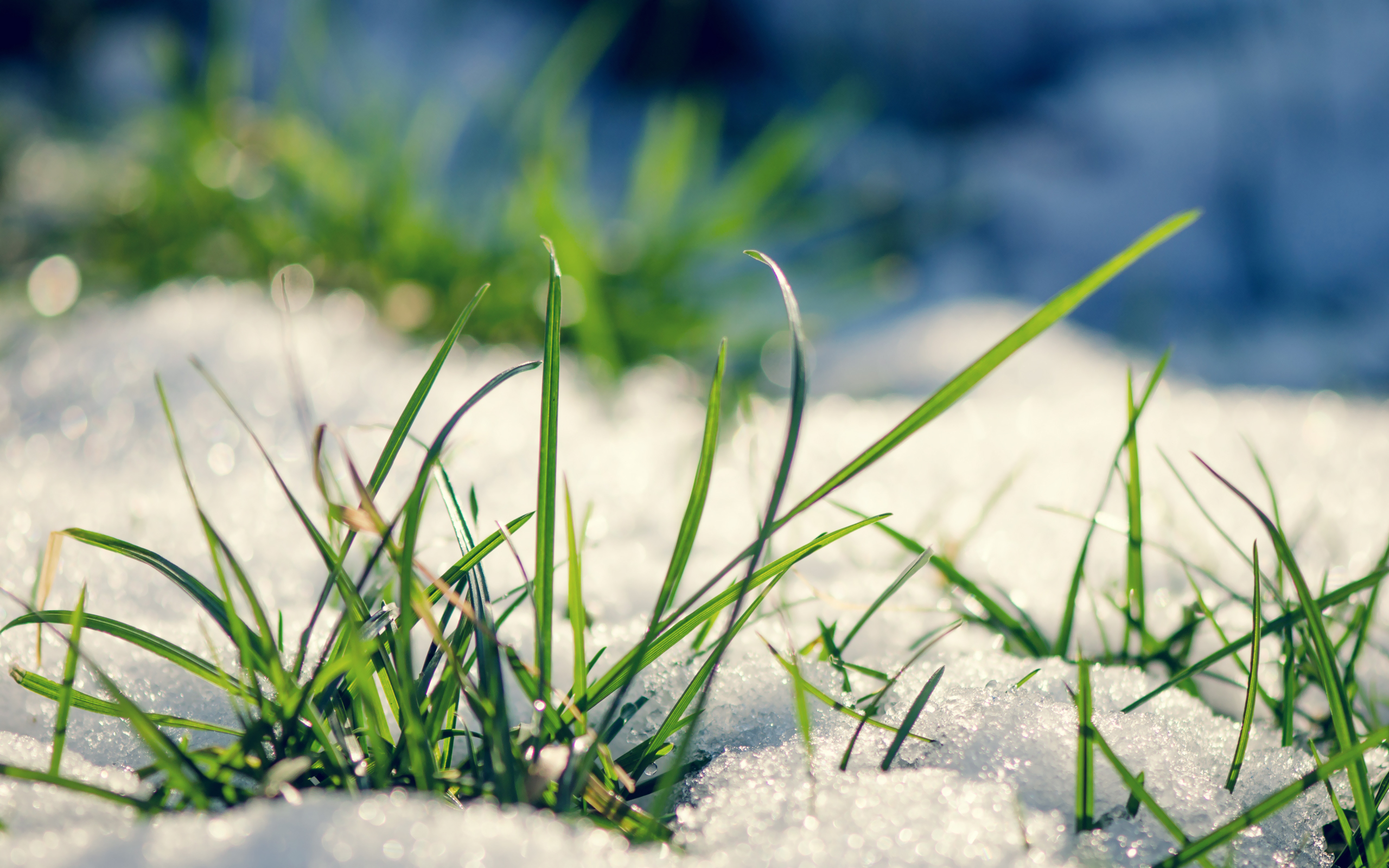 Early grass from under the snow in spring wallpapers and images 2560x1600