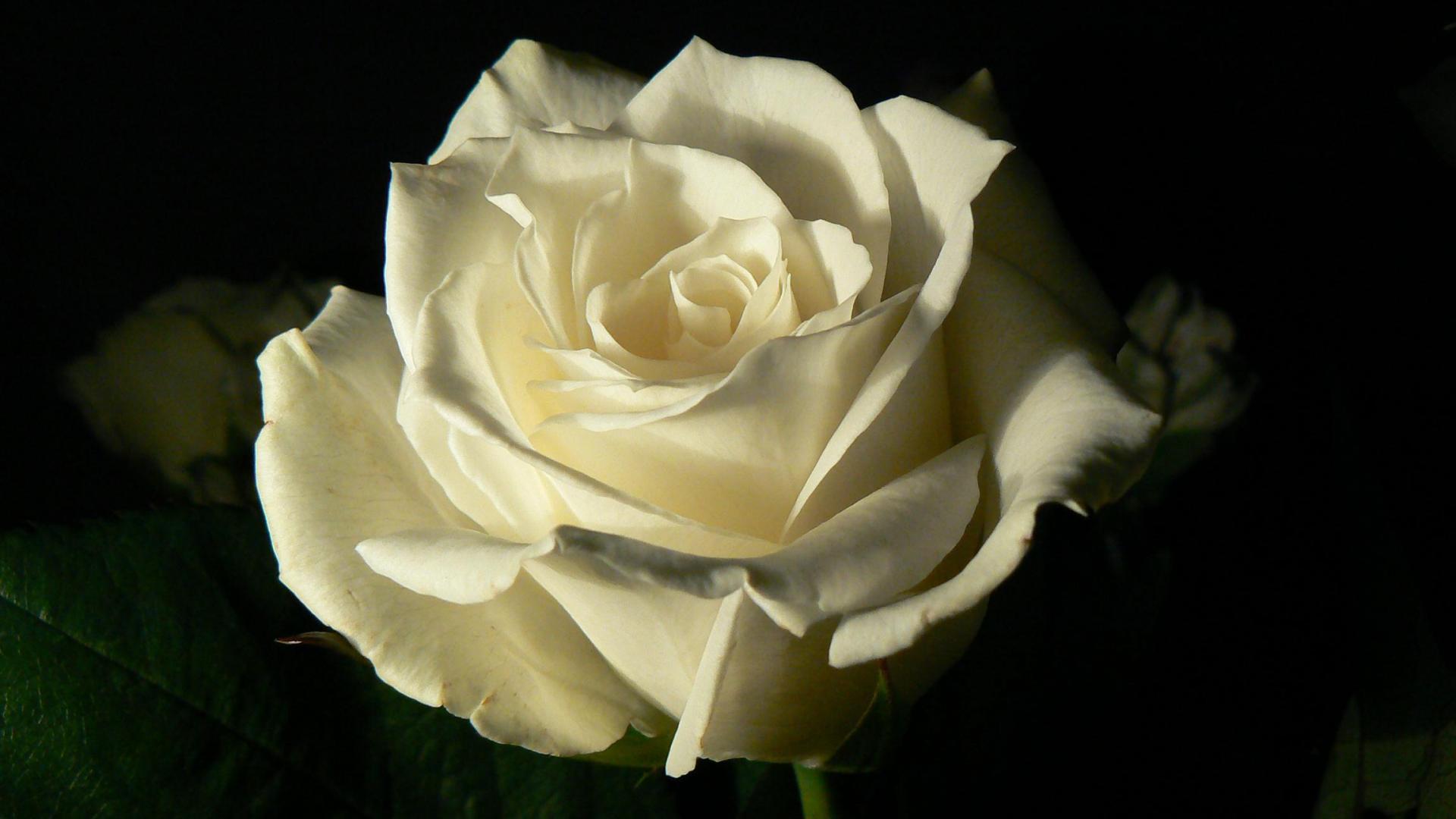 белые розы на черном фоне обои на рабочий стол № 133745  скачать