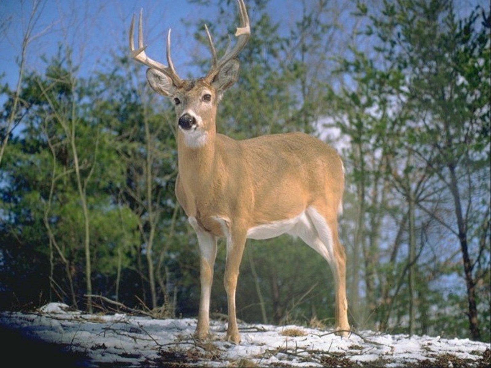 HD Whitetail Deer Wallpapers