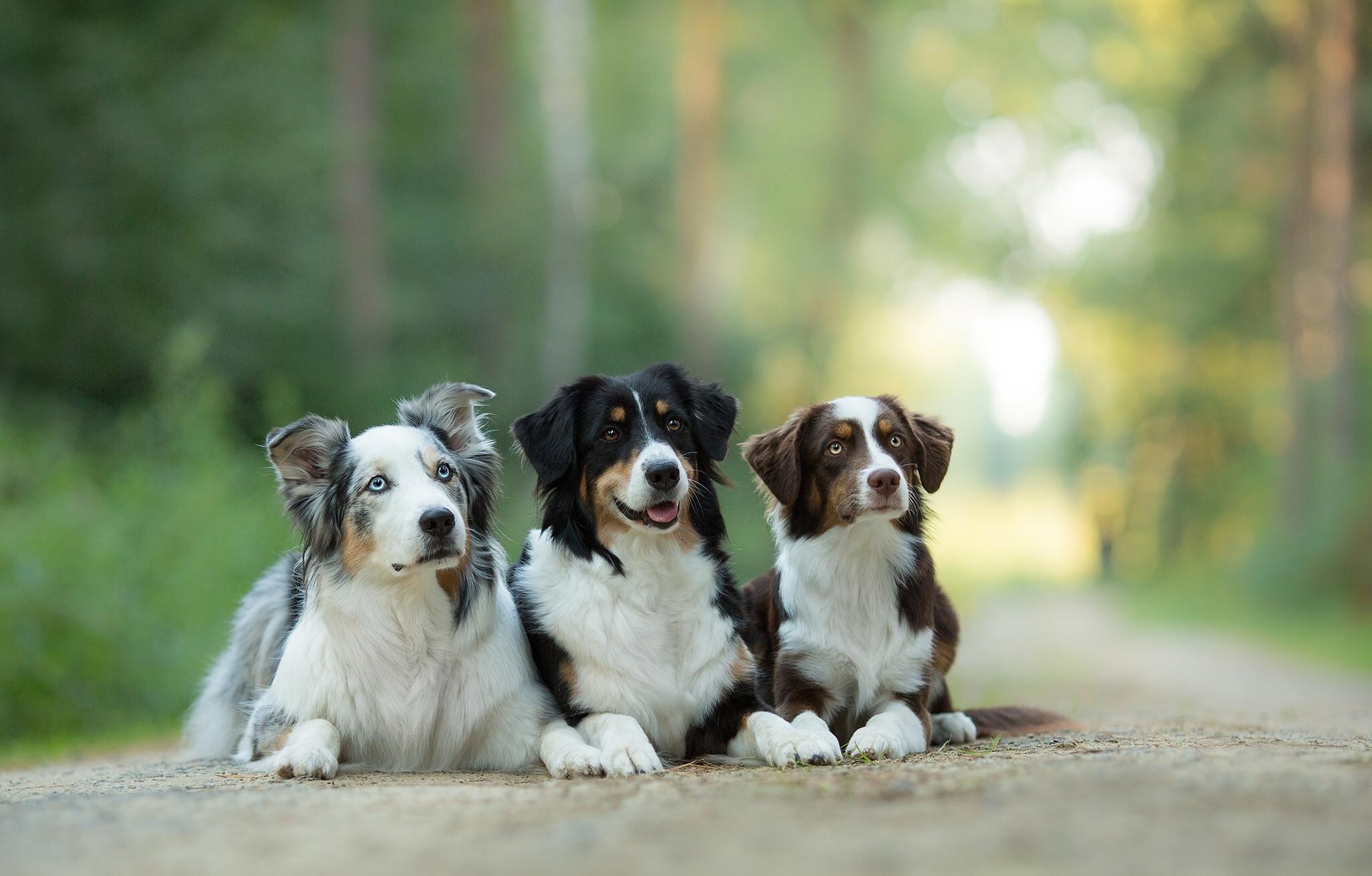 Wallpaper australian shepherd aussie dog trinity trio 2048x1307