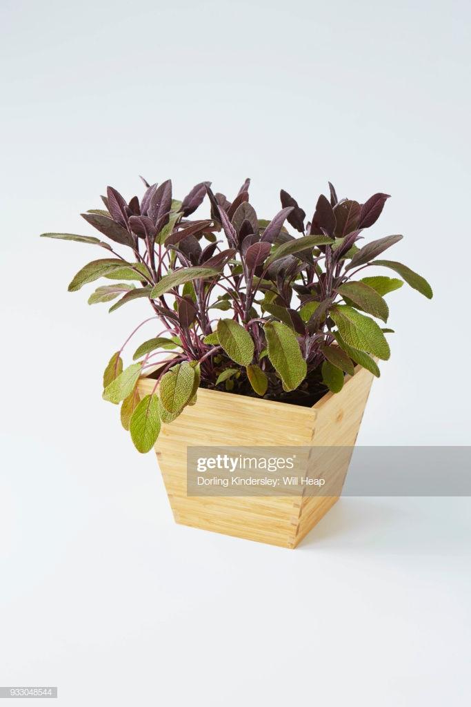 Purple Sage Salvia Offinalis Purpurascens In Wooden Pot White 683x1024