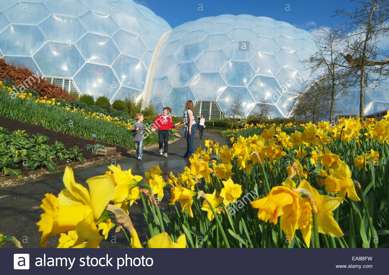 Daffodils in flower at the Eden Project with biomes in background 1300x920
