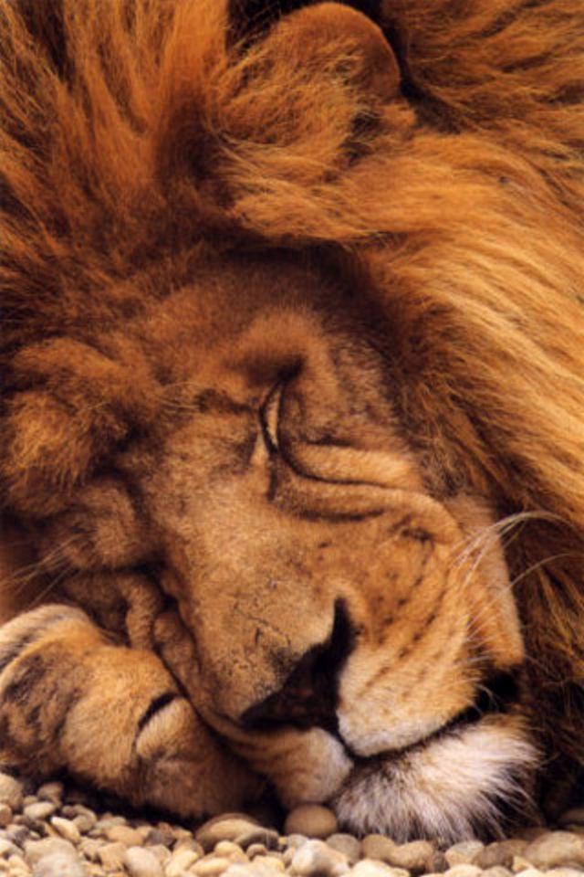 Sleeping Lion iPhone Wallpaper HD 640x960