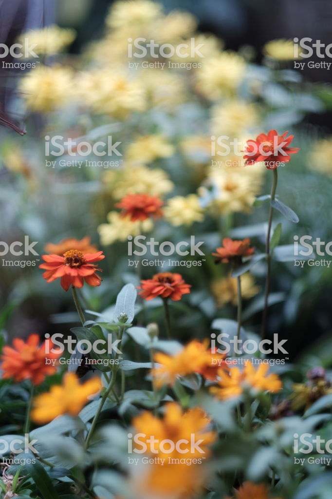 Selective Focus Of Group Of Orange Zinnia Over Yellow Zinnia 682x1024