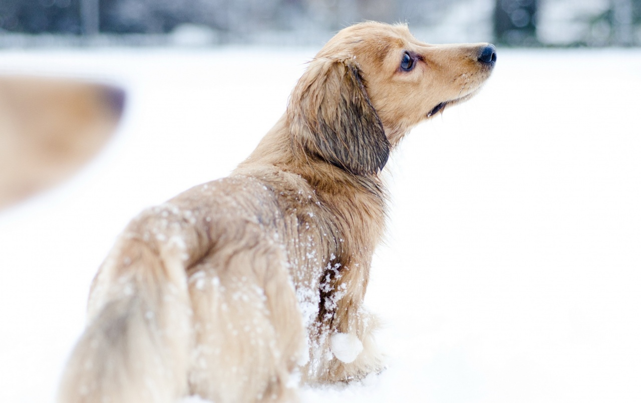 Dog in the Snow wallpapers Dog in the Snow stock photos 1280x804