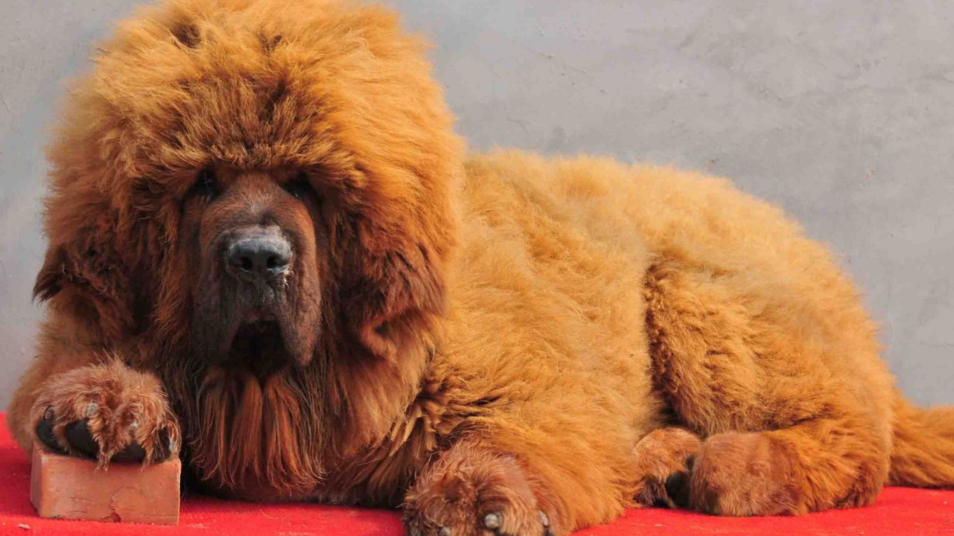 Free download tibetan mastiff puppies hd background to