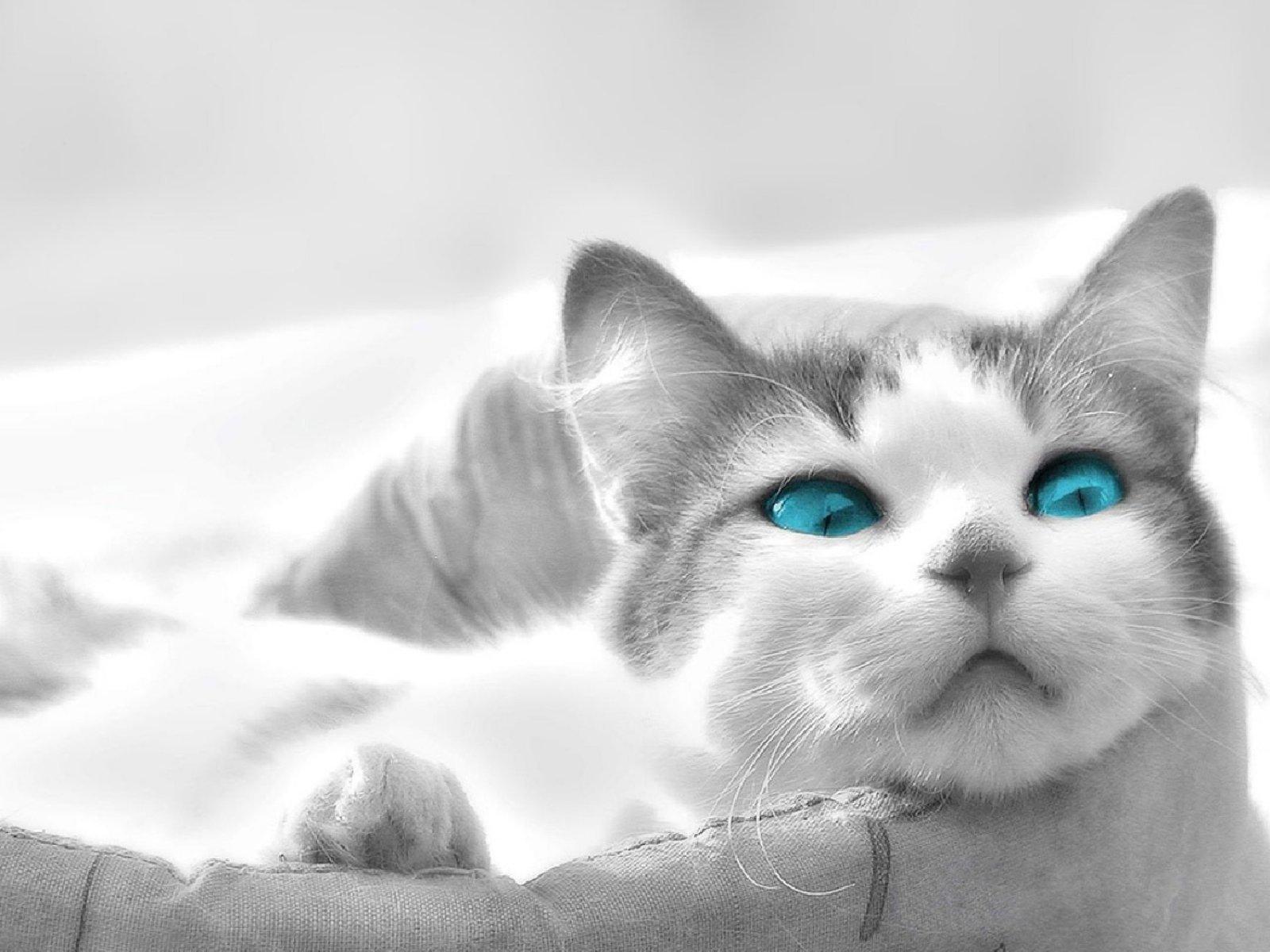 обои на рабочий стол белая кошка с голубыми глазами № 186071 бесплатно