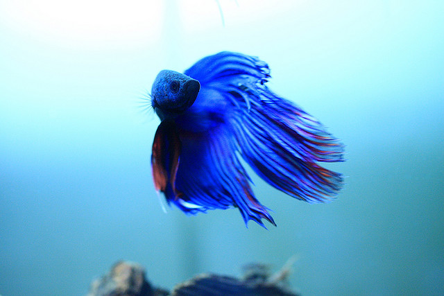 Nature Lover Betta Fish 640x427