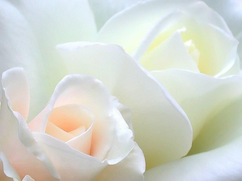 90 Wedding Red Rose Flower Wallpapers Love Roses Pictures Urdu 800x600