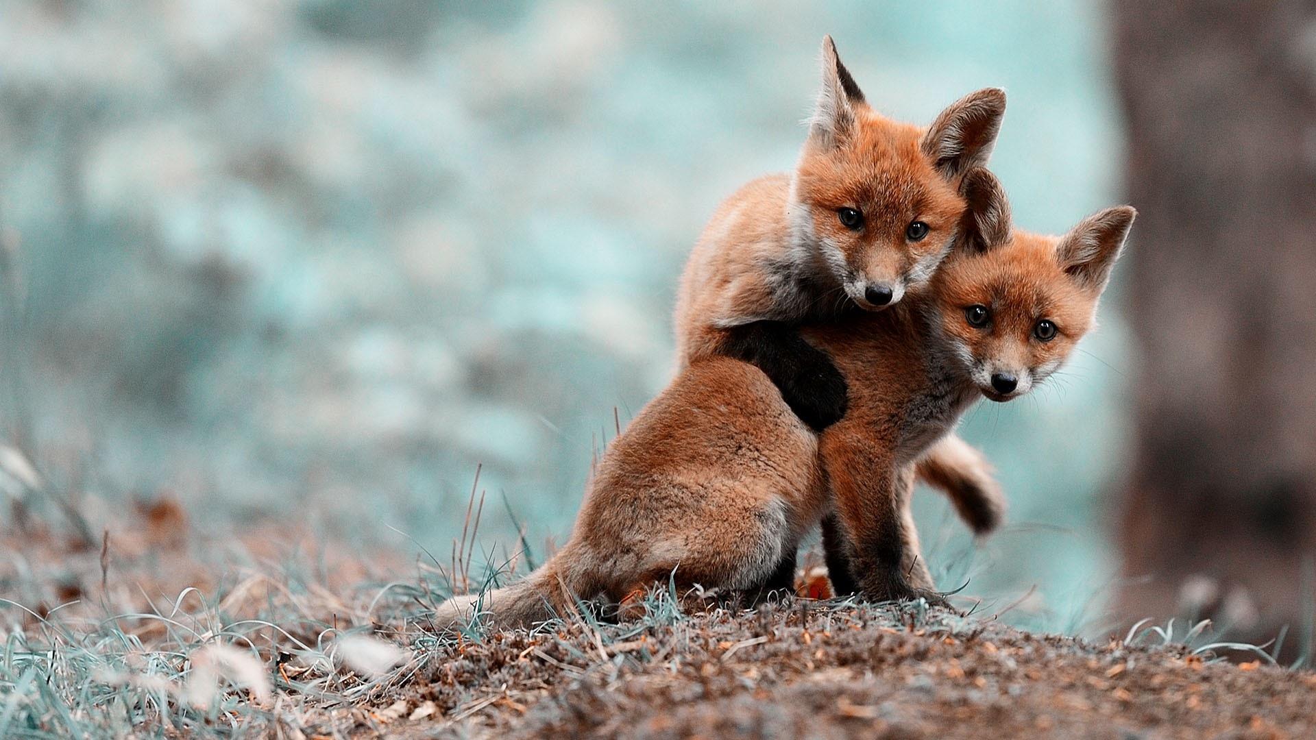 27 Cute Fox Wallpapers On Wallpapersafari
