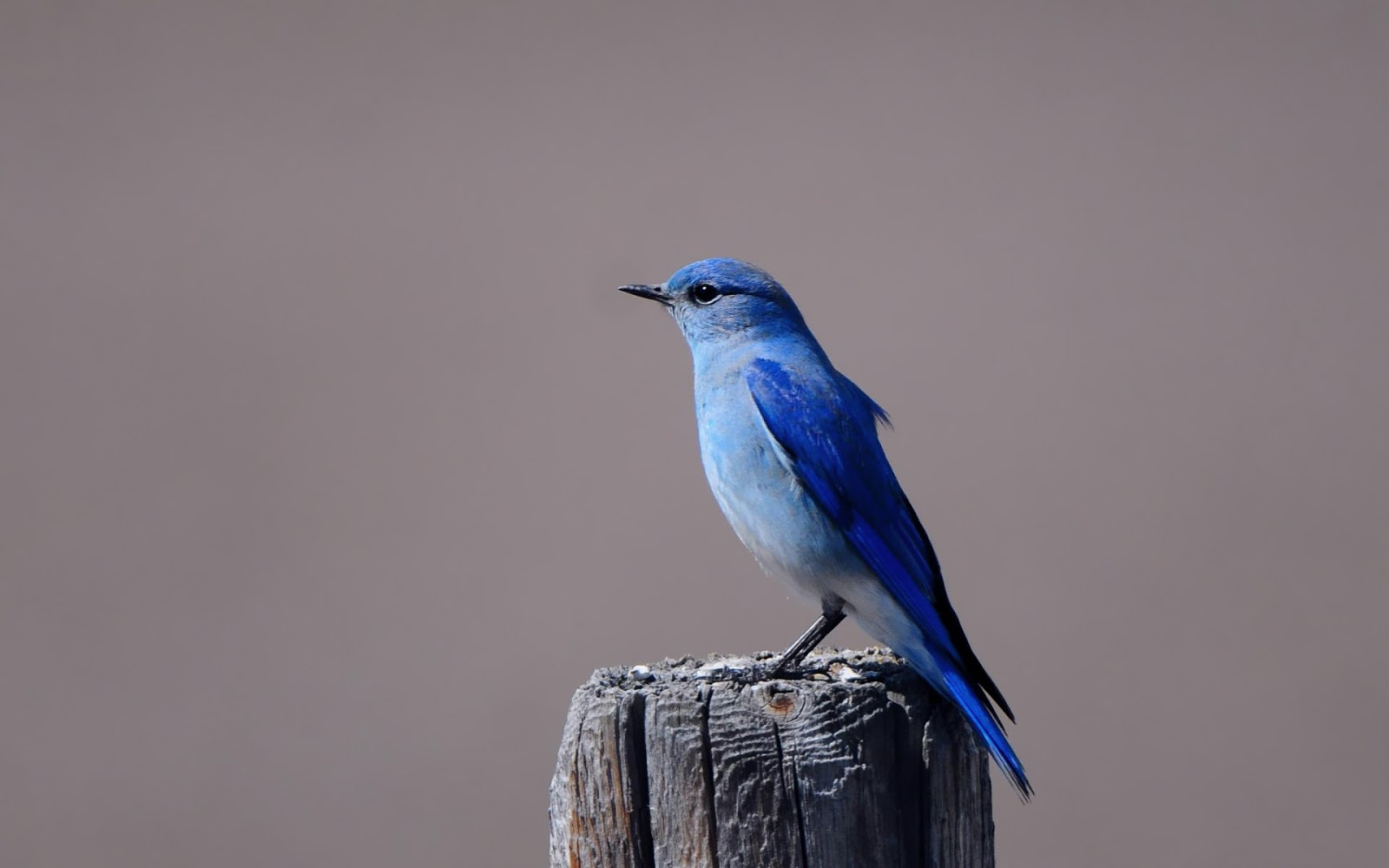 Blue bird sitting on a pole wallpaper HD Animals Wallpapers 1600x1000