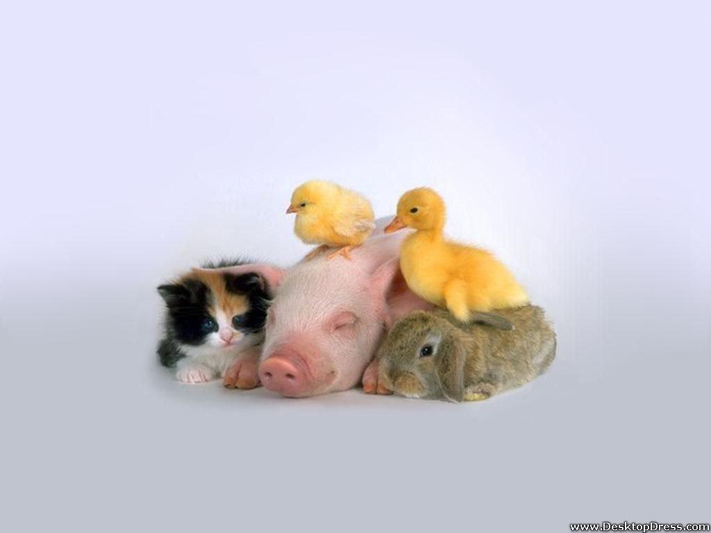 Desktop Wallpapers Animals Backgrounds Baby Chicken Duck on Pig 1024x768