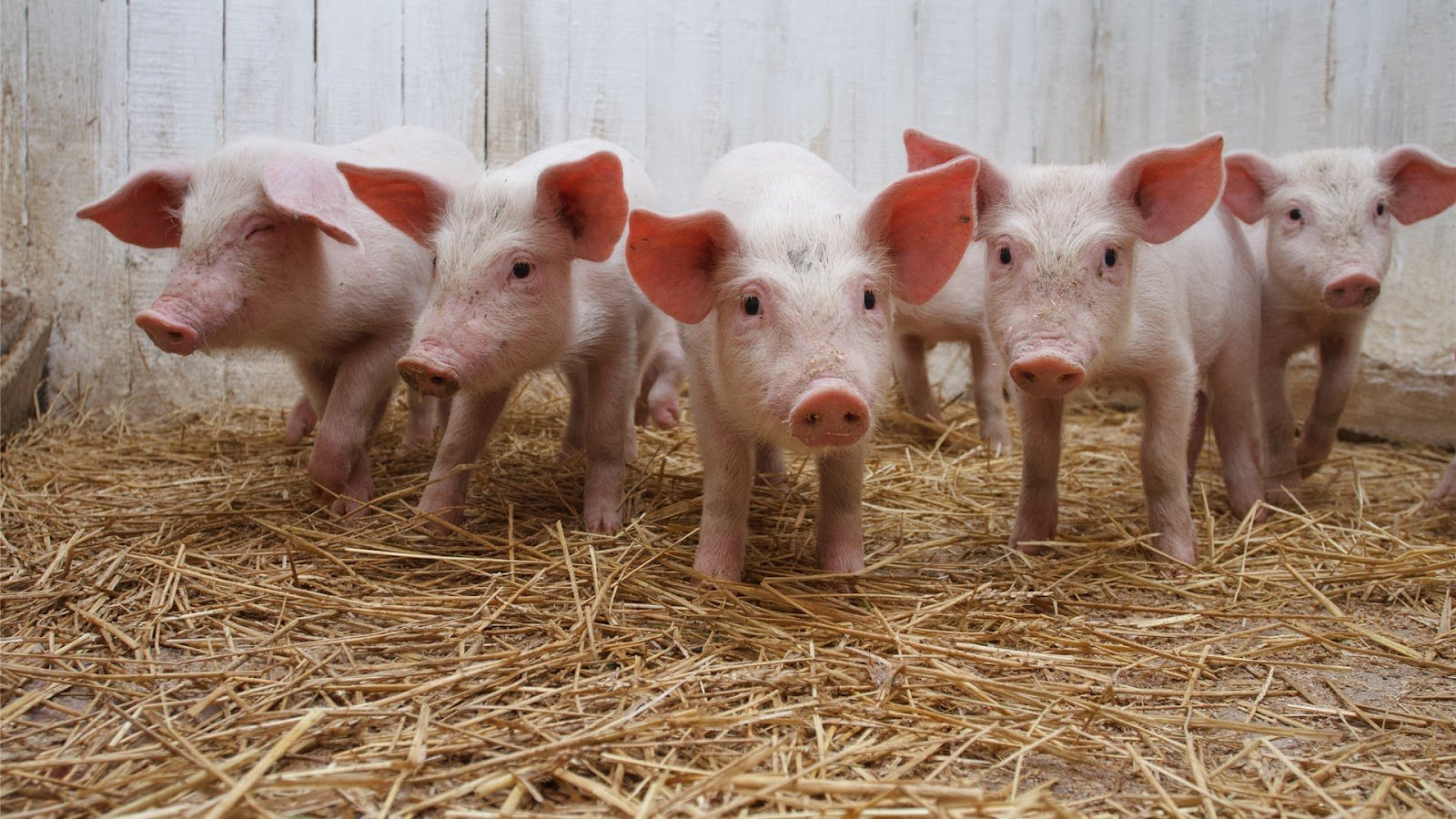 Pigs Full HD Wallpapers Pigs HD Wallpapers Pigs HD 1600x900